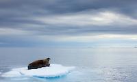 Walrus, Odobenus rosmarus, Spitsbergen, Svalbard