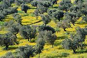 Olivenhain, En Hod, Karmelgebirge, Israel.|.olive rees, En Hod, Mount Carmel, Israel.