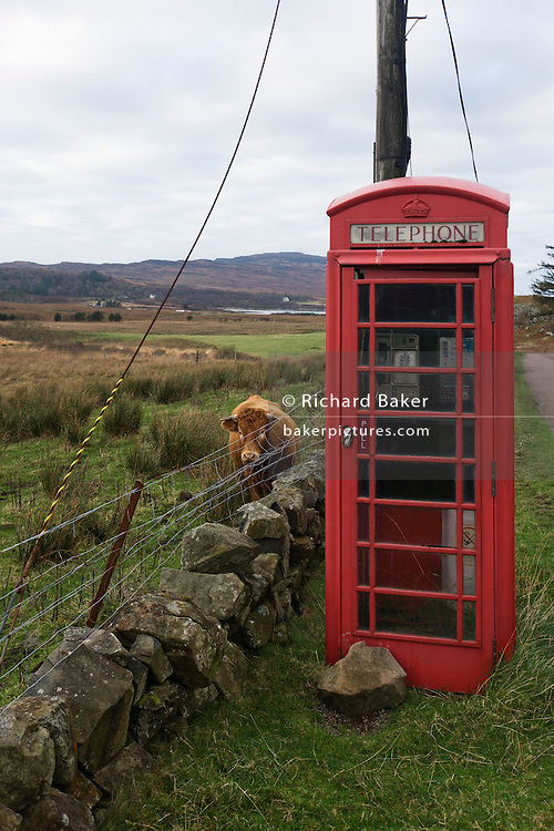 Bull and public phone box at Oskamull, Isle of Mull, Scotland.