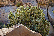 """A juniper tree loaded with """"berries"""" (female seed cones) in Joshua Tree National Park, near Twentynine Palms, California, USA. A """"juniper berry"""" is the female seed cone, which has unusually fleshy and merged scales."""
