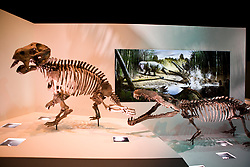 Stock photo of skeletal models of a Smilosuchus attacking a Placerias on display at the new Paleontology Hall at the Houston Museum of Natural Science