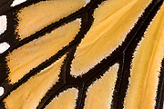 Macro abstract image of the wing pattern of a Monarch butterfly (Danaus plexippus) at the Long Sutton Butterfly and Wildlife Park Lincolnshire
