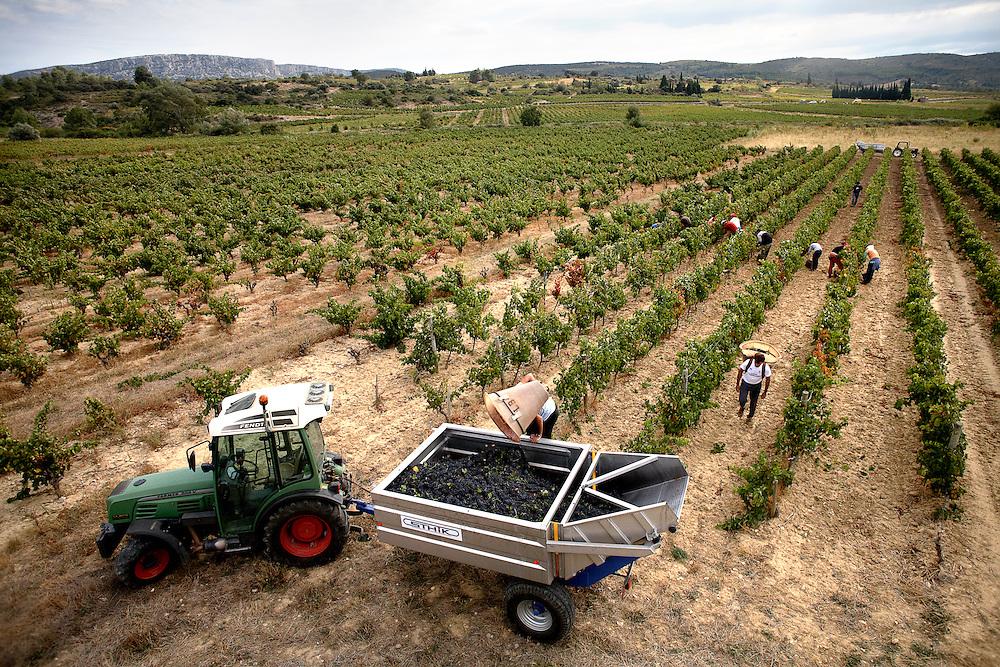 21/09/09 PAZIOLS (FRANCIA). Paziols es uno de los destinos de la ruta de la fruta que realiza por el sur de Francia la familia Hinojosa Moreno. Una vez acabada la campaña de los melocotoneros, toca la vendimia. Los temporeros recogen la uva al estilo tradicional, racimo a racimo, desde que el sol empieza a apuntar sus primeros rayos por el este hasta que se esconde tímidamente a última hora de la tarde..FOTOGRAFIA: TONI VILCHES.