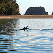 Bottlenosed Dolphins in playful mood watched by Dolphin watch boats who follow the dolphins in the waters around  Paihia, while taking part in the swimming with dolphins experience run by Fullers Dolphin encounters from Paihia.<br /> The Bay of Islands is a stunning region consisting of 144 islands, abundant in natural wonder and marine life. With some of the warmest waters in New Zealand, the Bay of Islands is a natural wonderland where you can encounter bottlenose and common dolphins, whales, seals, penguins and a diverse range of birdlife.<br />  Paihia, Bay of Islands, North Island,  New Zealand, 15th November 2010. Photo Tim Clayton