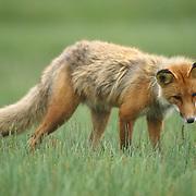 Red Fox (Vulpes vulpes), Aleutian Islands, Alaska