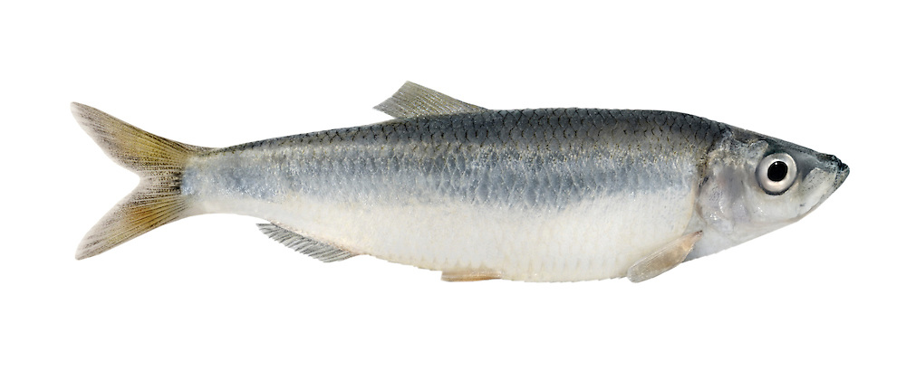 Sprat Sprattus sprattus Length to 16cm<br /> Shoal-forming Herring relative. Found in open seas but comes inshore in summer in particular. Adult is streamlined, blue-grey above and on sides, silvery-white below. Dorsal fin lies above pelvic fins. Belly has rough, saw-scaled outline. Widespread and fairly common.