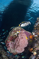 Indo-Pacific Sergeants (with vertical stripes) defend their eggs from marauding wrasses and a Clown Triggerfish<br /> <br /> Shot in Indonesia