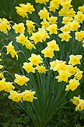 Daffodils, Narcissus, trumpet variety in springtime in Swinbrook in the Cotswolds, Oxfordshire, UK