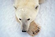 Polar bear in arctic environment