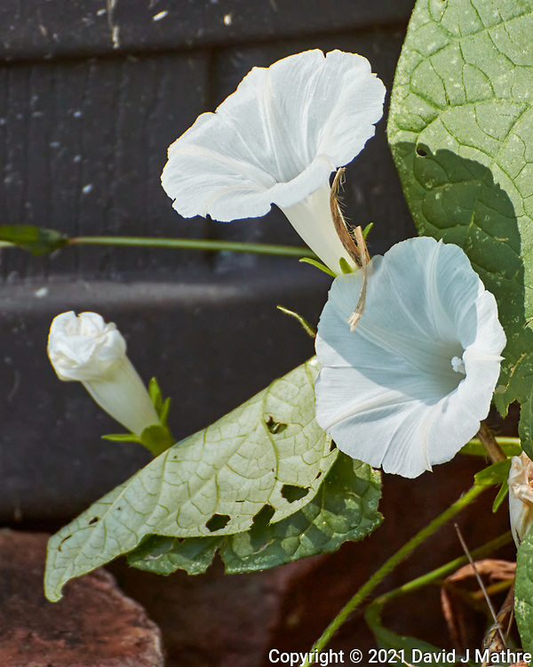 Morning Glory. Image taken with a Nikon 1 V3  camera and 70-300 mm VR lens.