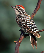 Ladder-backed woodpecker, Picoides scalaris, New Mexico
