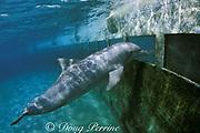 bottlenose dolphin, Tursiops truncatus, looks out through window at Miami Seaquarium, Virginia Key, Florida, USA