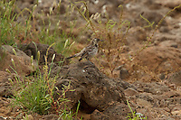 A Floreana (Charles) Mockingbird(Mimus trifasciatus).