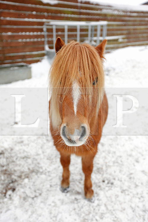 """©London News Pictures. 21/12/2010. In the past few days the UK has been focused on the disruption caused by the snow; commuters and holiday makers have been experiencing horrific delays.  Elsewhere in the country a small number of our four legged friends are having an entirely different experience.  At the Redwings charity horse sanctuary in Oxhill, Warwickshire, staff are working tirelessly to keep these horses, ponies and donkeys watered, stocked up on hay and sheltered from the elements.   .During the winter months the majority of the sixty seven residents at Redwings will be left out for the winter.  Each field has a water trough that has a tendency to freeze over in the sub zero conditions.  It is the job of Helen and Tom Glen, with their team of dedicated helpers, to keep these troughs topped up.  With the use of a small All Terrain Vehicle, Tom delivers up to eighty buckets of water and forty bales of hay across the thirty-acre site. .Founded in 2004, the sanctuary is now the largest in the UK.  The horses of Oxhill are rescued as a result from extreme cases of abuse, neglect and in some circumstances, the death of the owner.  Ex police horse 'Will Scarlett', named so after moving from Nottingham police force is spending his retirement here after suffering problems with his legs.  Due to the legalities involved with animal welfare cases all of the equines are re named on arrival.  One particular field of Shetland ponies have been named after cheeses - Edam, Gorgon and Zola, to name but a few.  .  The penalty for animal abuse in the UK, if convicted, can range from community service to prison. However, Tom states that """"We have a field of horses and ponies that were beaten with a scaffold pole and the guy only gets 5 months.  There is not enough of a deterrent to stop people being abusive to animals"""".  Regardless of the their backgrounds the welfare of these horses is paramount.  The staff are passionate horsemen and women, they strive to turn each rescue into"""