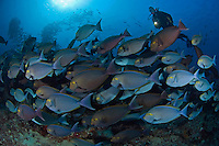 Schooling Yellowmask Surgeonfishes and Diver