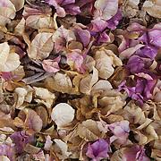 Fallen petals from a Bougainvillea plant add color to the grounds of the Karen Blixen estates garden near Nairobi, Kenya.