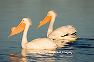 00671-009.09  American White Pelicans (Pelecanus erythrorhynchos) Riverlands Environmental Demonstration Area,  MO
