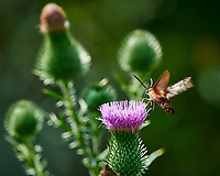 Hummingbird Clearwing Moth feeding on on Thistle flowers. Image taken with a Nikon D4 camera and 300 mm f/4 lens (ISO 100, 300 mm, f/8, 1/250 sec).