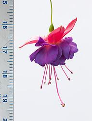FH16 Fuchsia Charlie Dimmock = 'Foncha'