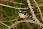 Yellow breasted Passerine bird perched on a branch