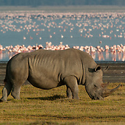 White Rhinoceros (Ceratotherium simum), also know as the Grass Rhino, grazing with flamingos in the distance in Lake Nakuru National Park. Kenya, Africa.