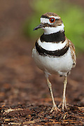 Stock Photo of killdeer captured in Colorado.  If a predator approaches a killdeer's nest, this bird will feign injury to draw the predator away from the nest.