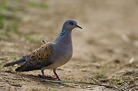 Turtle Dove (Streptopelia turtur), Turteltaube, near Nikopol, Bulgaria