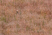 A young great horned owl (Bubo virginianus) hides in the tall grass of the Palouse Grasslands near Clyde, Washington.