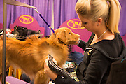 New York City, US, 12 February 2013. Kristen Lawless grooms her Nova Scotia duck tolling retriever prior to the junior finals of the 137th Westminster Kennel Club dog show.