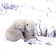 Polar Bear, (Ursus maritimus) Mother with surviving cub watches over dead cub. Churchill, Manitoba. Canada.