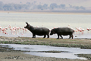 two hippopotamus playing in a river at Serengeti National Park is a region of grasslands and woodlands in United Republic of Tanzania