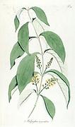 Hand painted botanical study of a Malpighia argentea flower anatomy from Fragmenta Botanica by Nikolaus Joseph Freiherr von Jacquin or Baron Nikolaus von Jacquin (printed in Vienna in 1809)