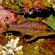 Iridescent Cardinalfish inhabit reefs. Picture taken Fiji.