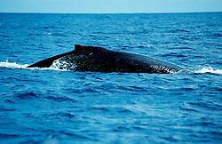 Megaptera novaeangliae, Buckelwal an der Wasseroberfläche, humpback whale on surface, Tonga, Polynesien, Polynesia
