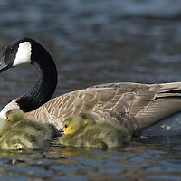 A goose tends to her goslings along the Deschutes River.