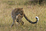 Leopard, Panthera pardus, Masai Mara, Kenya.