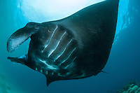 A Manta cruises over a cleaning station.<br /> <br /> Shot in Indonesia