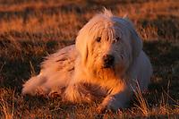 Romanian shepherd dog (breed: Mioritic) in the Munti Tarcu Natura 2000 site. Southern Carpathians, Munții Ṭarcu, Caraș-Severin, Romania.