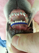 """Golden retriever gets braces<br /> <br /> Wesley the golden retriever was having trouble closing his mouth and stopped eating.<br /> <br /> Fortunately for the 6-month-old pup who lives in Spring Lake with Molly Moore, his owner's dad is Harborfront Hospital for Animals veterinarian Dr. James Moore, who is called a """"doggie dentist""""<br /> <br /> """"He wasn't able to fully close his mouth and chew well and he stopped playing with his toys because of the pain and started losing weight because he couldn't eat,"""" <br /> <br /> The braces were put on Wesley on Feb. 19 and should come off this week,  Dr. Moore specializes in veterinary dentistry and fitted Wesley with braces. He only needs to wear the braces for a few weeks.<br /> ©Exclusivepix Media"""