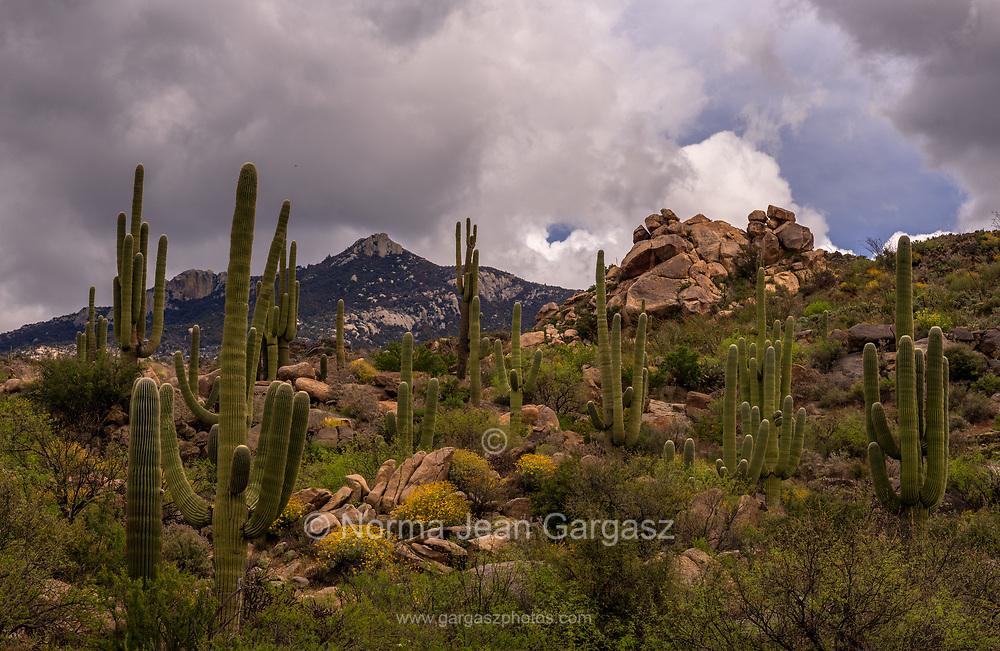 Wildflowers bloom among saguaro cactus in April in the foothills of the Santa Catalina Mountains, Coronado National Forest, Sonran Desert, Catalina, Arizona, USA.