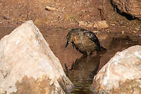 A female Great-tailed Grackle, Quiscalus mexicanus, bathes in a small stream in Papago Park, part of the Phoenix Mountains Preserve near Phoenix, Arizona
