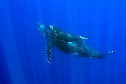 humpback whale mother and calf, Megaptera novaeangliae, Hawaii, Pacific Ocean.