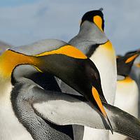 A King Penguin preens its wing at Salisbury Plain, South Georgia, Antarctica.