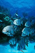 Atlantic spadefish, Chaetodipterus faber, Molasses Reef, Key Largo, Florida Keys National Marine Sanctuary, Florida ( Western Atlantic Ocean )