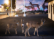 Wild deer walk together in the streets of Alturas, Calif., on Wednesday, Sept. 9, 2020.