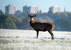 © Licensed to London News Pictures. 04/11/2020. London, UK. A deer stag stands in a frost covered landscape at sunrise in Richmond Park, south west London on a cold Autumn morning. Photo credit: Ben Cawthra/LNP