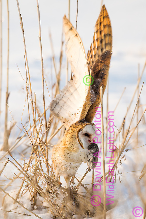 Barn owl about to fly with a vole it has captured, hunting during the day in rare winter conditions when prey is inactive at night, active under snow during the day. © David A. Ponton