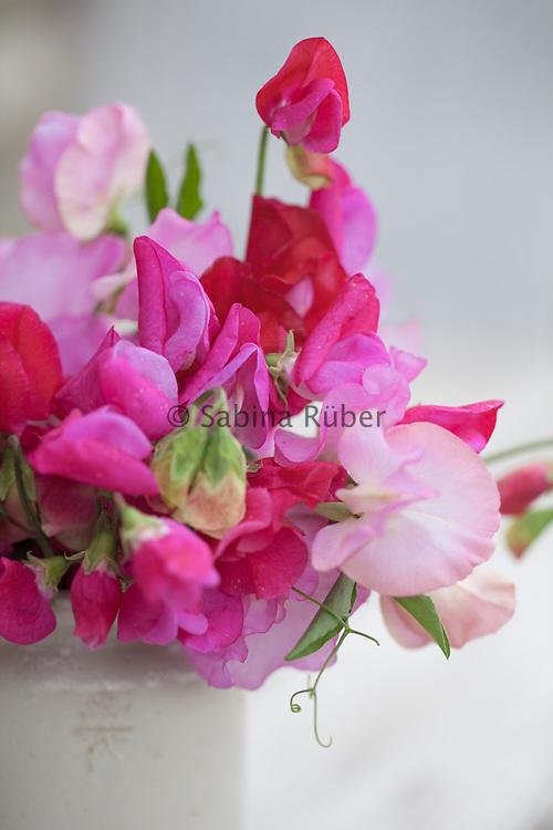 Lathyrus odoratus: 'Barry Dare', 'Annie B Gilroy' and 'Gwendoline' - sweet peas