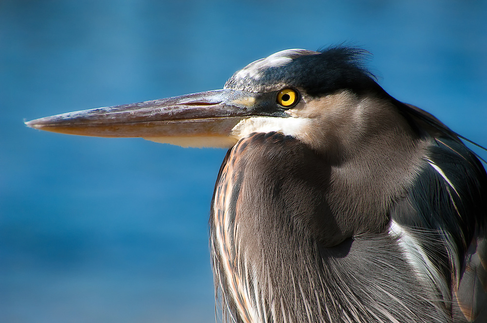 Portrait of a  blue heron in Panama City, Florida.