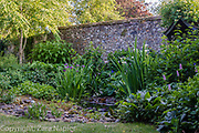 Back Garden - Iris Virginica, Iris Purple Queen and Persicaria bistorta 'Superba' by the pond with Betula - Birch tree and old flint wall. Clover Cottage